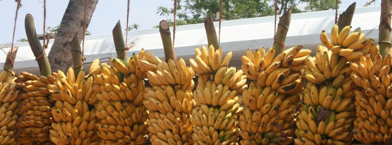 Newly Developed Banana Could Save Hundreds of Thousands of Lives
