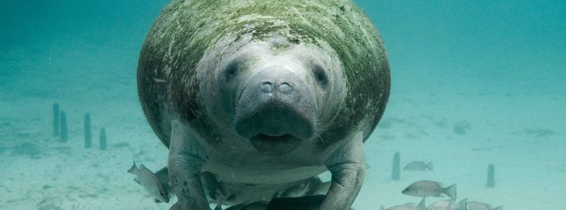 CITIZENS RESCUE MANATEES LEFT IN MUD BY IRMA [watch]