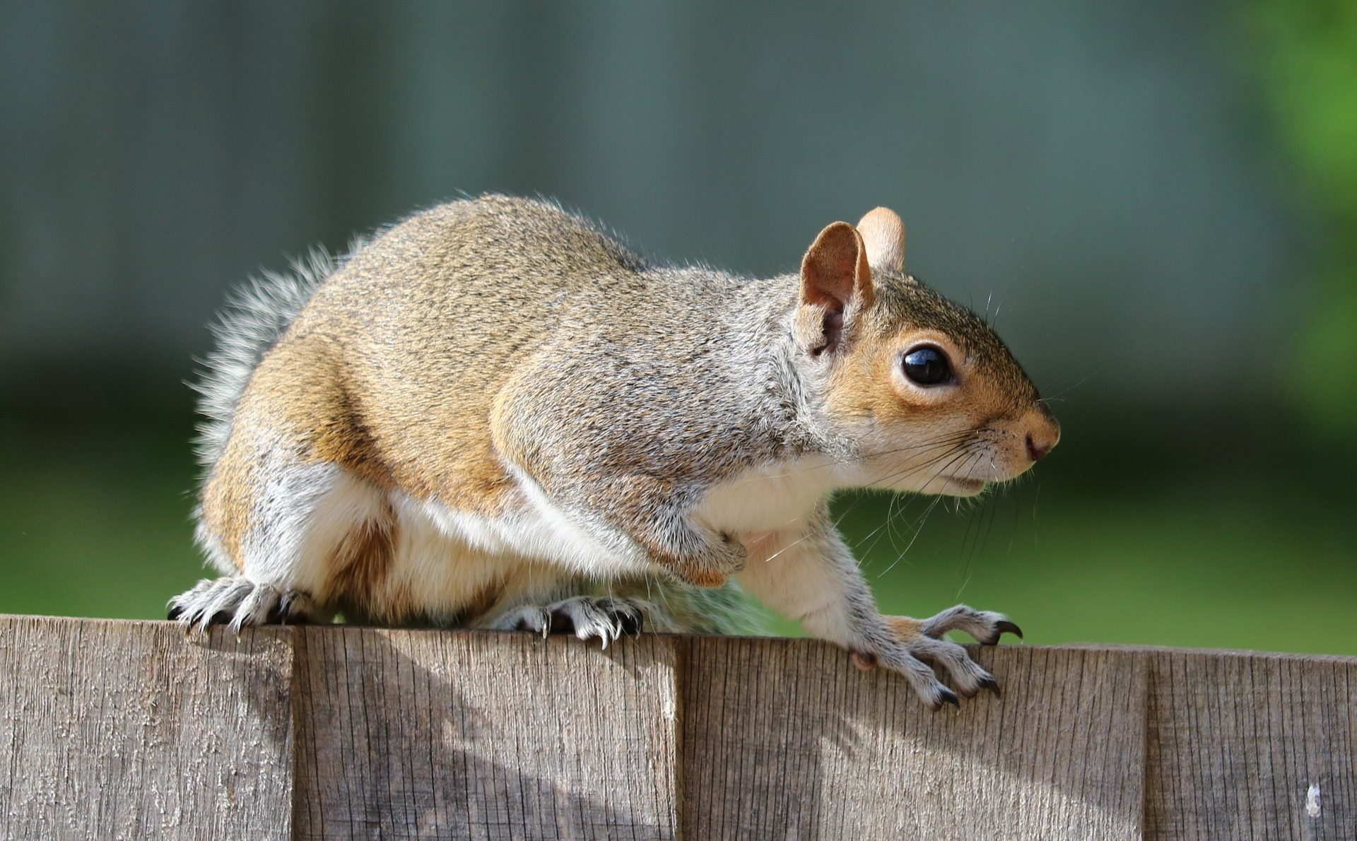 Check your cars!! Squirrels might use your engines for storage
