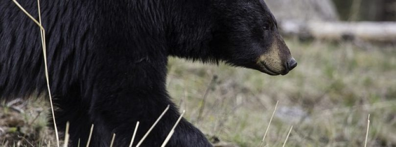 Black Bears In Pennsylvania