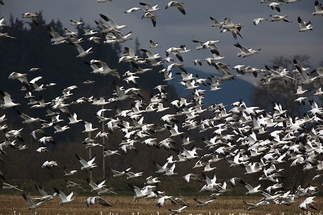 Where To See Snow Geese In Central PA